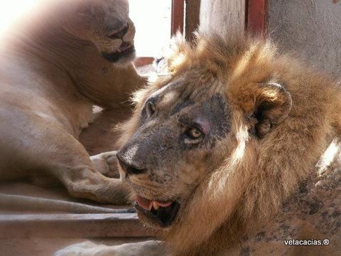 clinique veterinaire acacias orleans dermatologie poisson lion