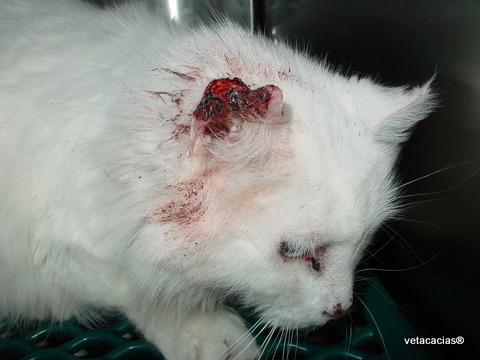 clinique veterinaire orleans acacias tumeur oreille poisson